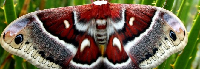 cropped-lep_columbia_moth071